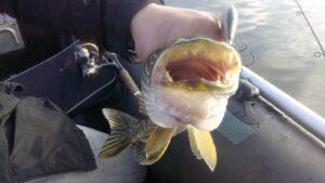 Рыба щука пасть