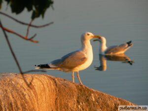 Чайка1