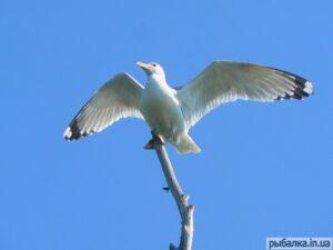 Чайка3