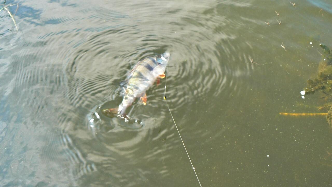 Ловля окуня Рыбалка в июле