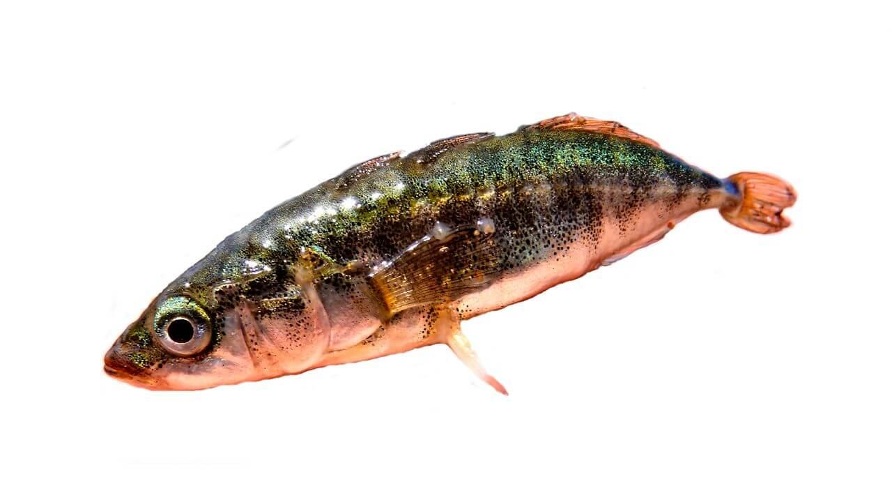 Колюшка трехиглая рыбы Украины