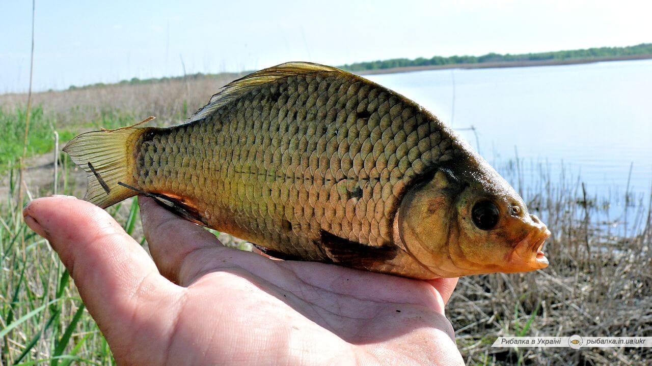 Пресноводные рыбы Украины — золотой карась Фото