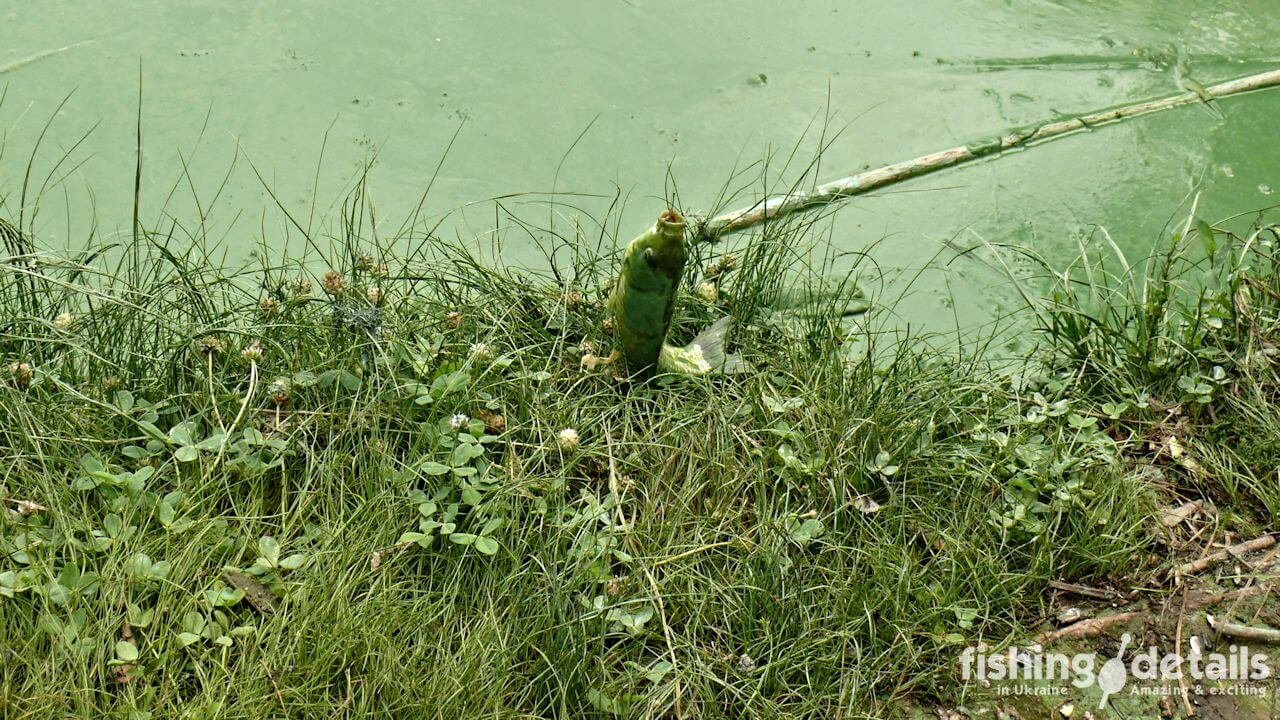 Фото Зеленый карась