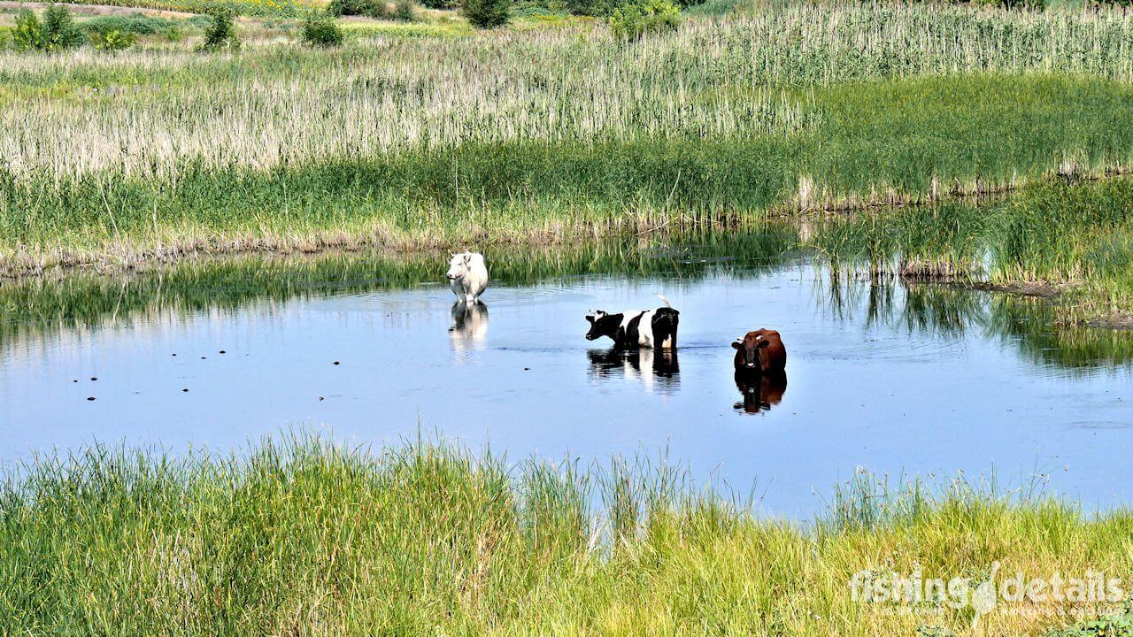 Коровы на реке Самара