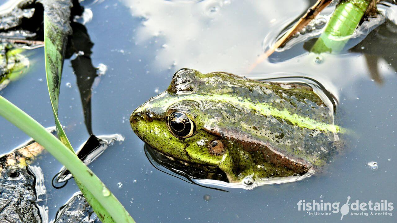 Фото лягушка крупным планом