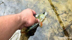 Рыбалка в Украине ФОТОФАКТ Окунь в Богуславе на реке Самара