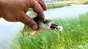 Рыбалка в Украине ФОТОФАКТ Окунь и крылатый джиг