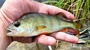 Рыбалка в Украине ФОТОФАКТ Окунь расцверка Самарская
