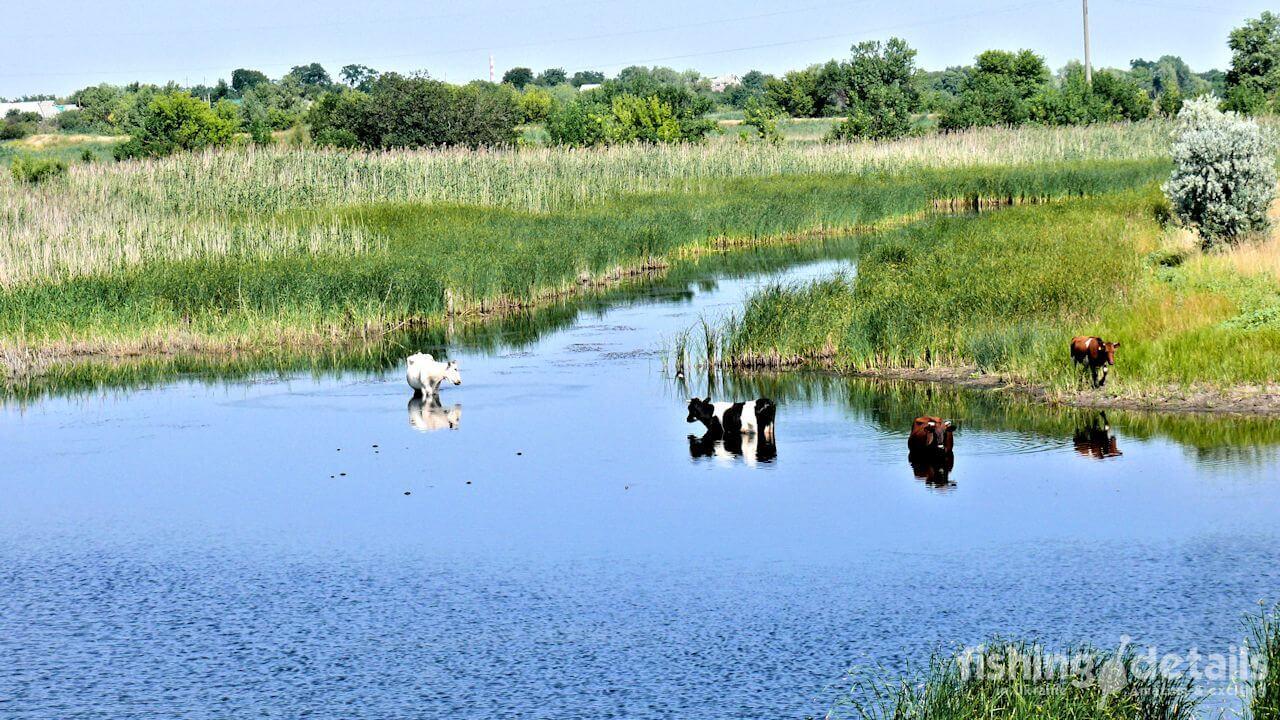Фото корова на реке Самара