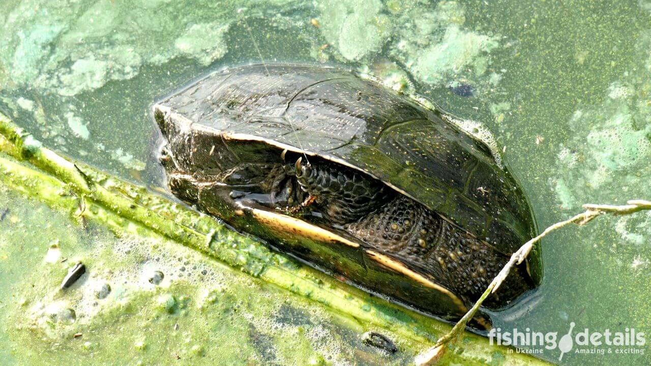 Фото Черепаха на фидер