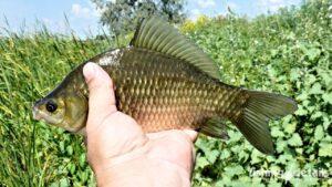 Рыбалка на Самаре — Богуславский карась