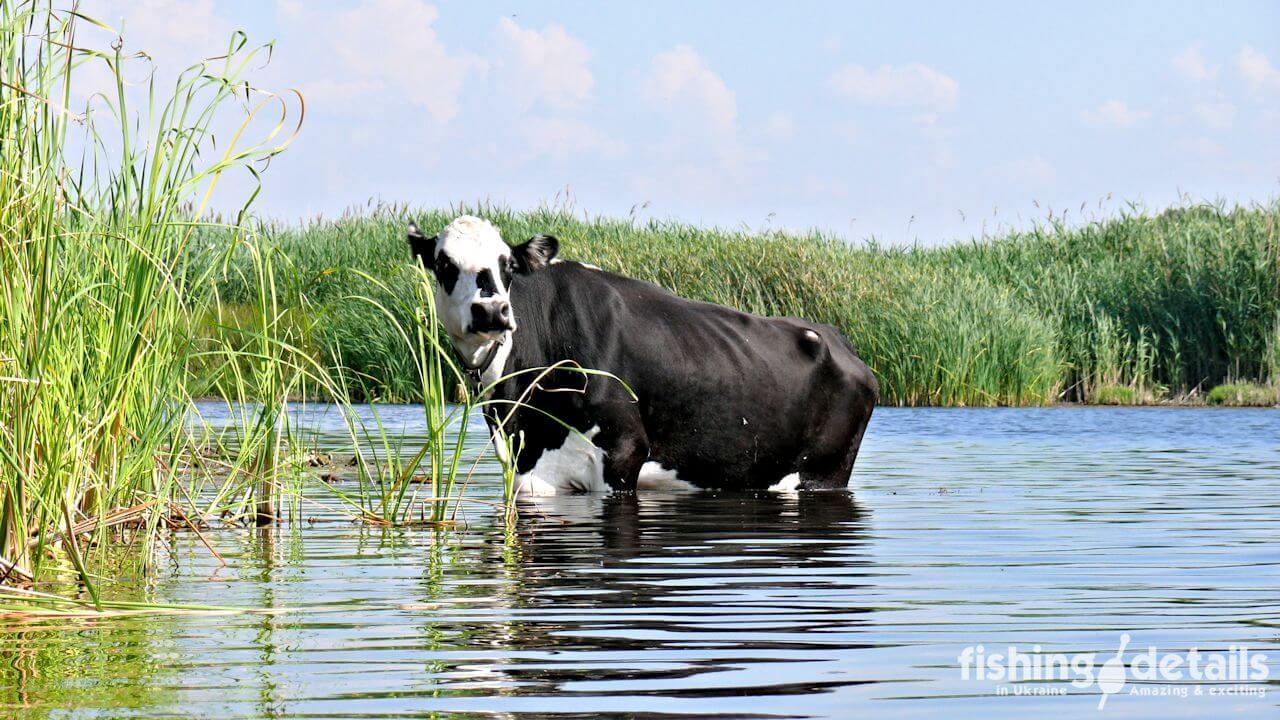 Рыбалка на Самаре — Купание коровы в реке