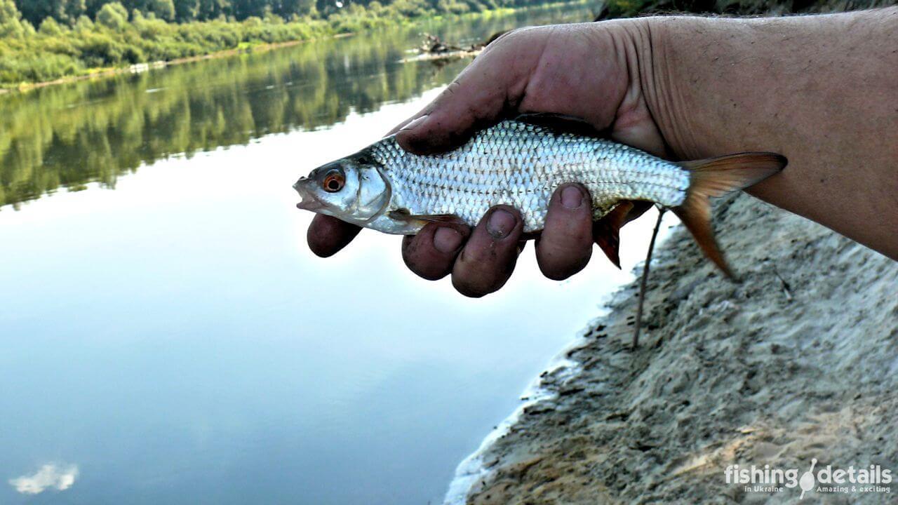 Плотва на реке Десна
