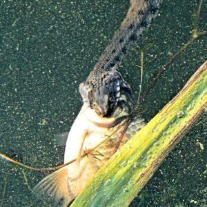 Фото змея с добычей