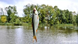 Рыбалка на реке Мена - Фото - Плотва