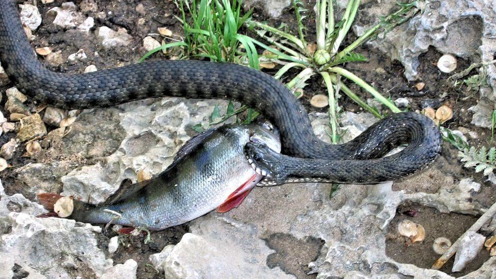 Фото шахматная змея и окунь