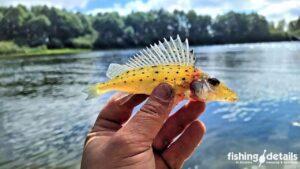 Ерш носарь рыба