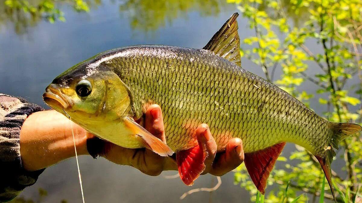 Рыба Язь